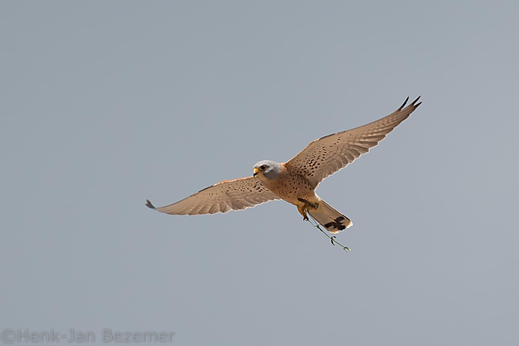 Kleine torenvalk (Falco naumanni)