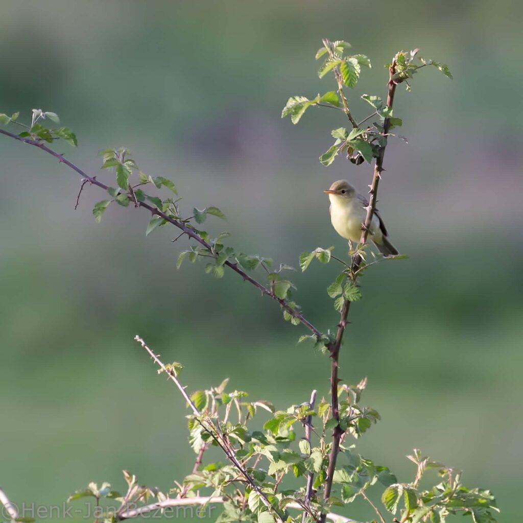Orpheus spotvogel