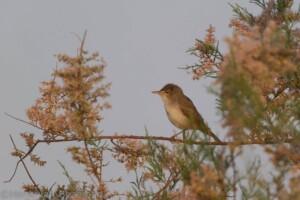 Vale spotvogel