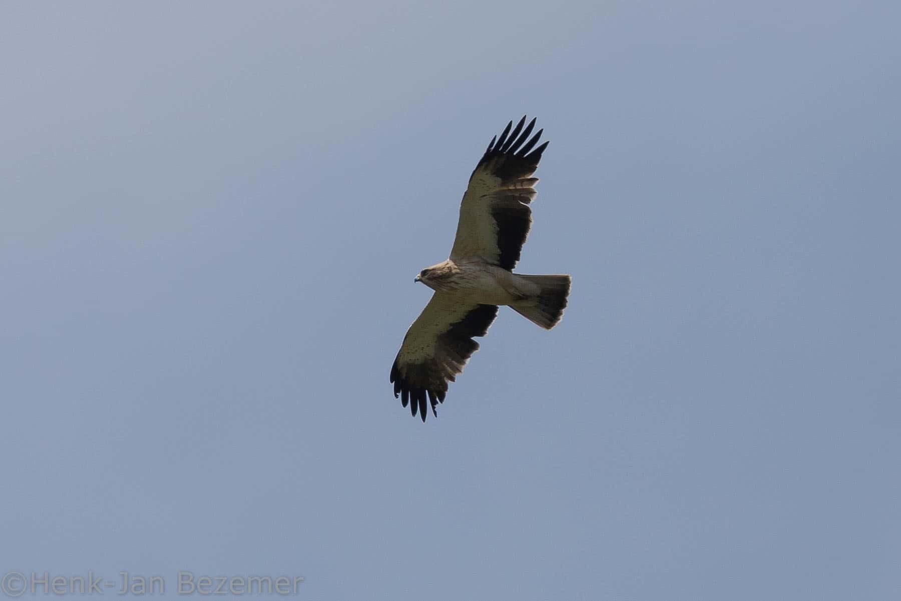 Dwergarend (Aquila pennata)