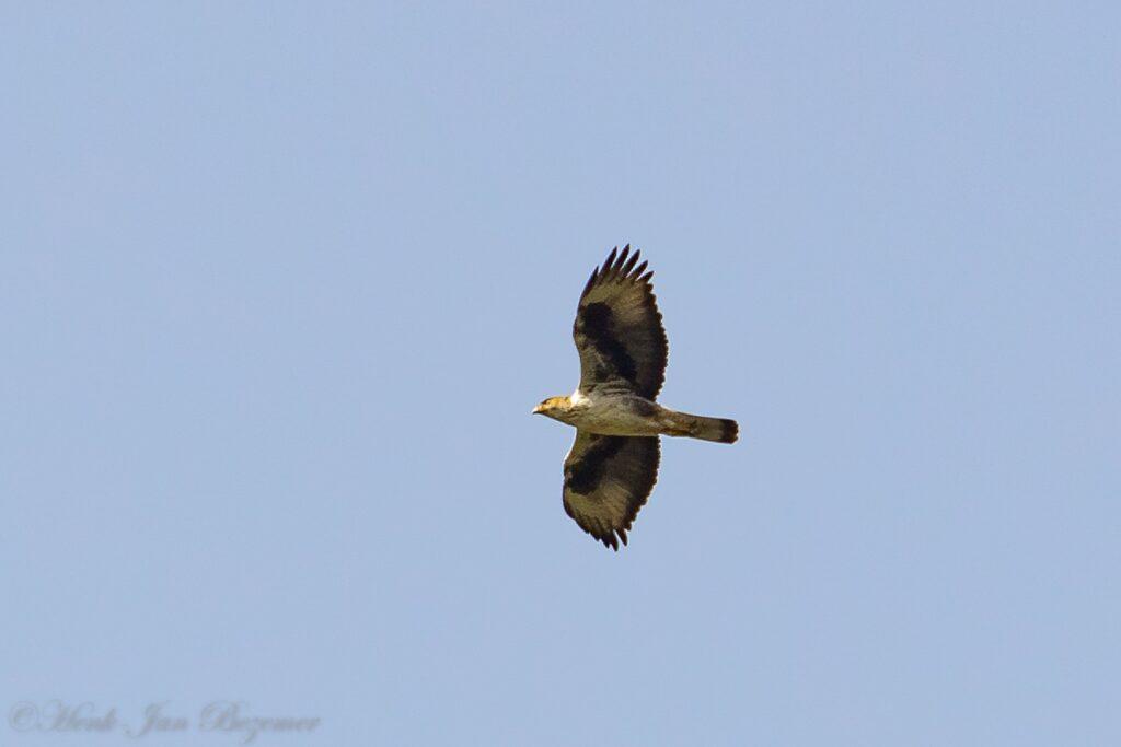 Havikarend (Aquila fasciata)